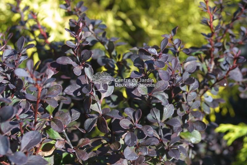 berberis thunbergii royal burgundy gentry pine vinette japanese barberry nos v g taux. Black Bedroom Furniture Sets. Home Design Ideas