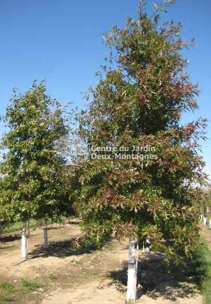 quercus palustris ch ne des marais pin oak nos v g taux jardin2m. Black Bedroom Furniture Sets. Home Design Ideas