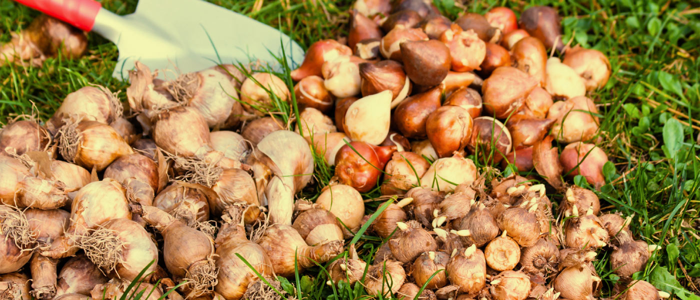 Entreposage des bulbes d 39 t jardin2m for Arrosage des bulbes
