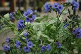 Pulmonaire / Lungwort (Bethlehem Sage) - Photo