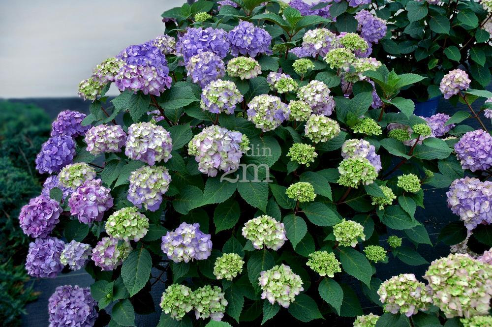 Hydrangea Macrophylla Quot Bloomstruck Quot End Summer