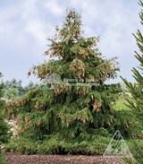 Épinette de Norvege / Norway Spruce - Photo