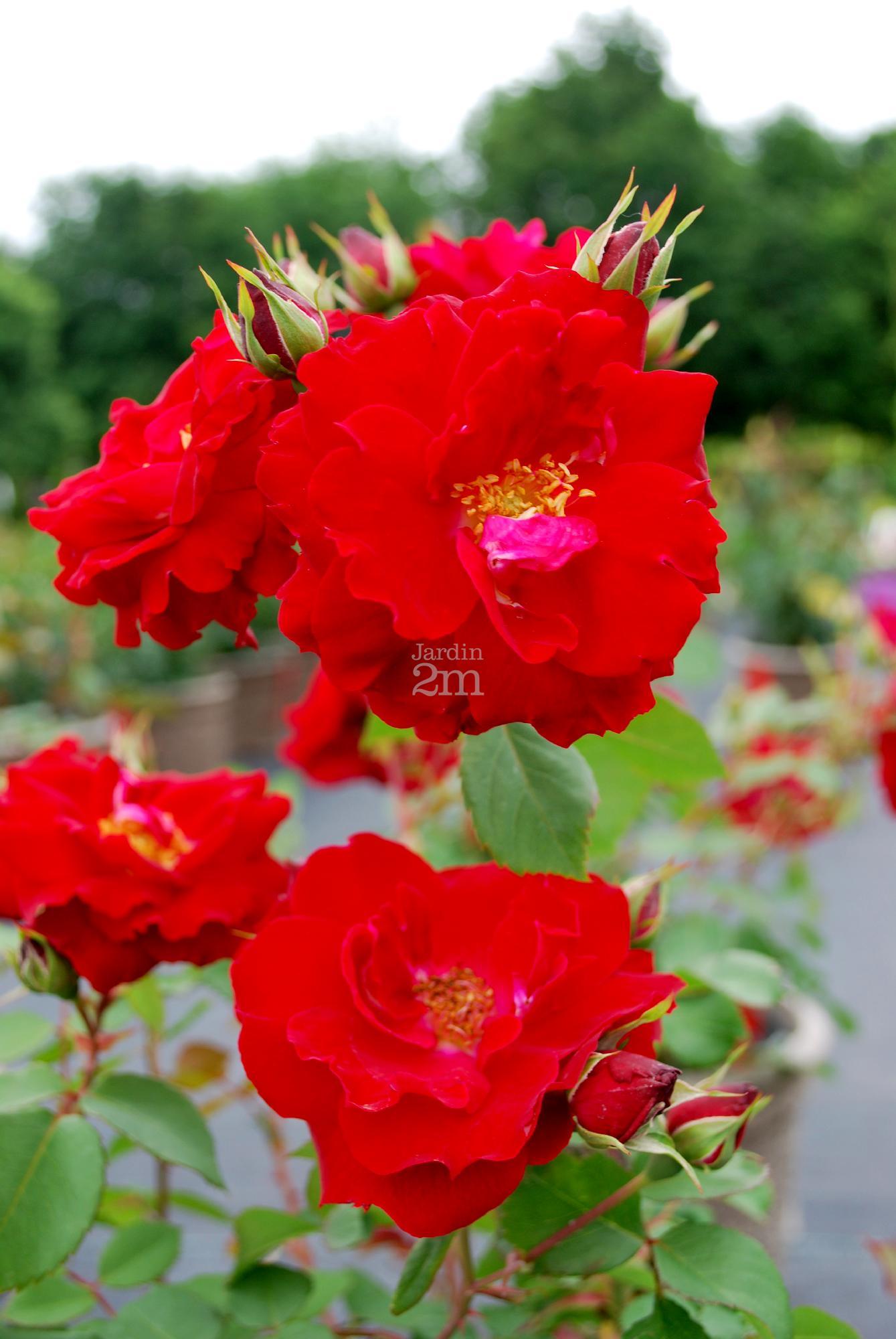 rosa rugosa nicolas rosier rustique rose nos v g taux jardin2m. Black Bedroom Furniture Sets. Home Design Ideas
