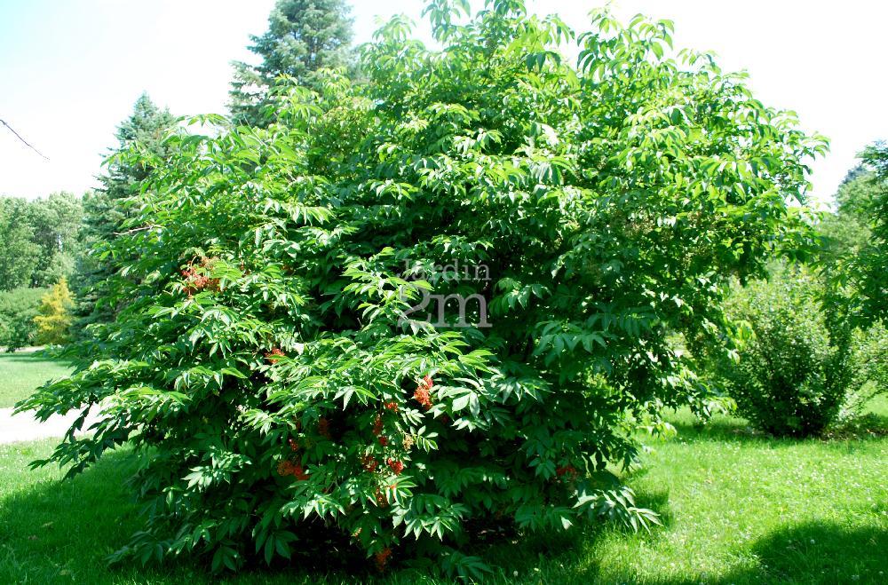 Sambucus pubens sureau rouge pubescent american red elder nos v g taux jardin2m - Regles qui sentent mauvais ...