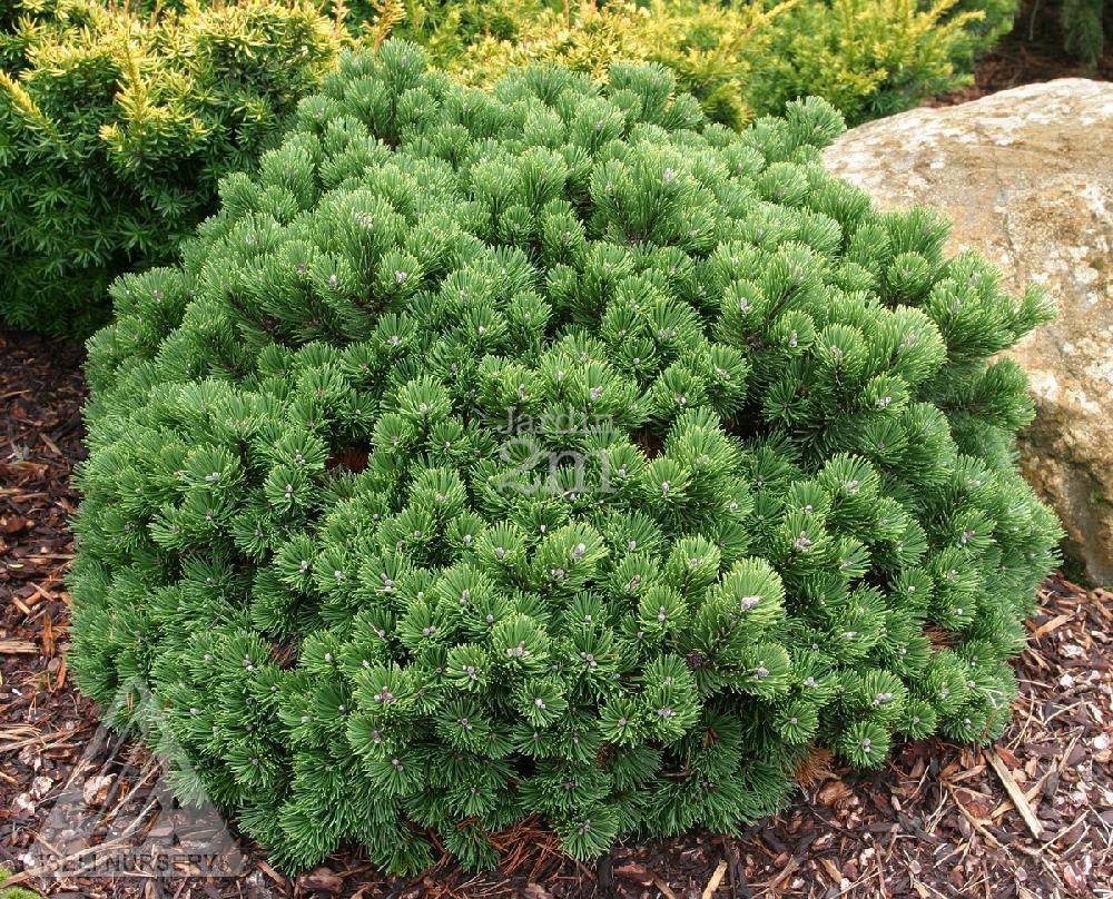 Pinus mugo sherwood compact pin de montagne swiss for Jardin 2 montagnes